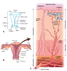 Uterus-detail-layers vector image