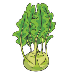 kohlrabi cabbage in green color and with foliage vector image