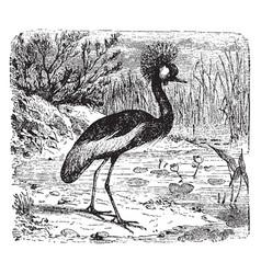 crested crane vintage vector image
