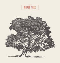 high detail vintage maple tree hand drawn vector image