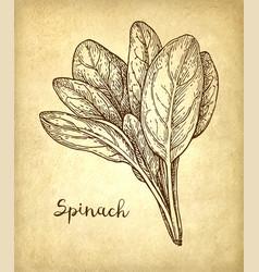 Ink sketch of spinach vector