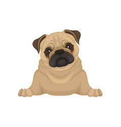 Portrait of lying pug puppy front view small dog vector