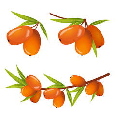 sea buckthorn with leaves icos vector image