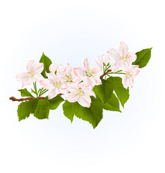 Fowering branch of apple tree spring background vector