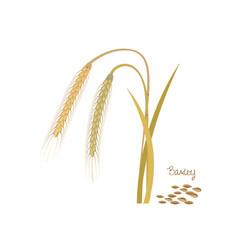 Barley with leaves stems grains ingredients vector