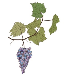 Grapes with leaves drawing vector
