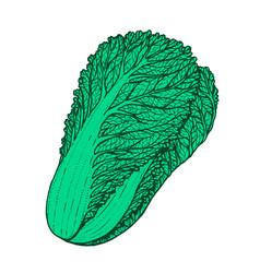 hand drawn of napa cabbage vector image