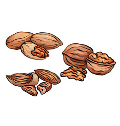 set of colored cartoon nuts kit of walnut pecan vector image