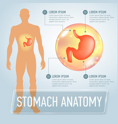 stomach infographics banner vector image