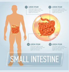 intestine infographics banner vector image