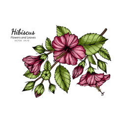 Pink hibiscus flower and leaf drawing with line vector