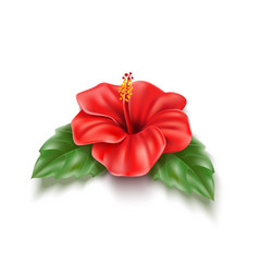 red hibiscus realistic tropical flower leaf vector image