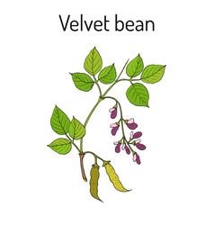 Velvet bean mucuna pruriens medicinal plant vector