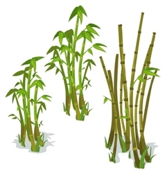 Bamboo on white background isolated vector image