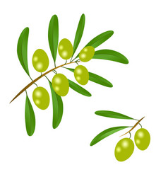 Branch with green olives and leaves to decorate vector