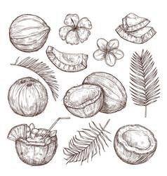 coconut sketch drawing nature hand drawn half vector image