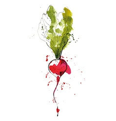 Watercolor of radish vector