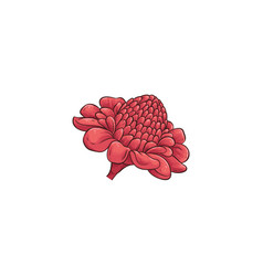 beautiful red flower australian waratah or vector image