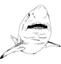 attacking great white shark vector image