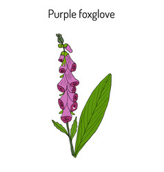 foxglove digitalis purpurea medicinal and vector image