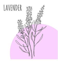 Lavender sketch botanical herb spice vector