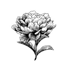 peony flower drawing engraving vector image vector image