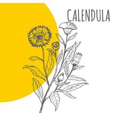 Calendula sketch botanical herb plant vector