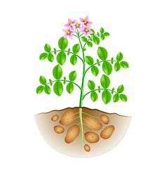 growing potatoes plant isolated on white vector image vector image