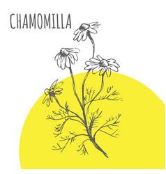 Chamomilla sketch botanical herb spice vector