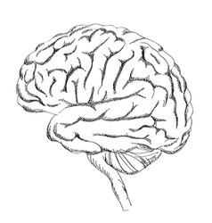 Brain isolated anatomy sketch human brain lateral vector
