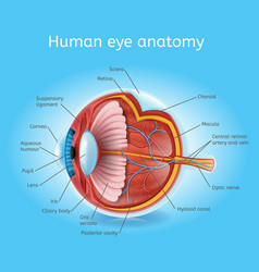 Human eye anatomy detailed realistic scheme vector