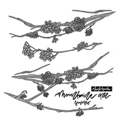 monochrome mountain ash branches vector image