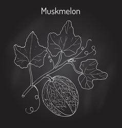 muskmelon or cucumis melo vector image