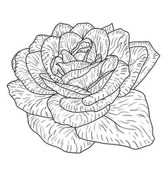 beautiful monochrome sketch black and white rose vector image