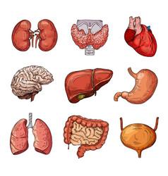 Human internal organs cartoon brain and heart vector