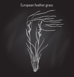 European feather grass stipa pennata flowering vector