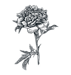 peony flower drawing engraving vector image