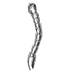 Antenna a species asida vintage vector