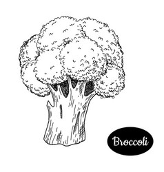 hand drawn sketch style broccoli vector image