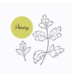Hand drawn parsley branch with leves isolated on vector image