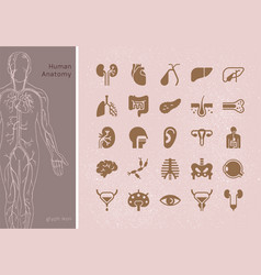 Large set linear icons human organs vector