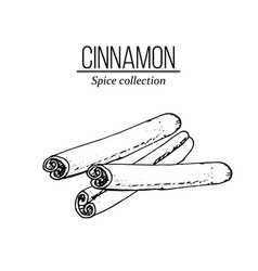 spice collection cinnamon sticks vector image