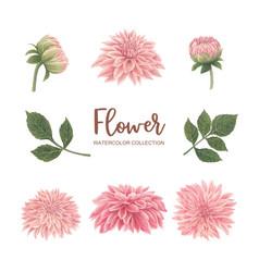Bloom flower watercolor design pink chrysanthemum vector