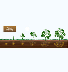 Potato growth stages banner vector