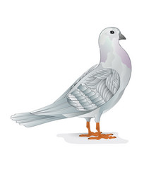 White carrier pigeon dove domestic breeds sports vector