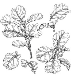 ficus branches and leaves sketch vector image vector image