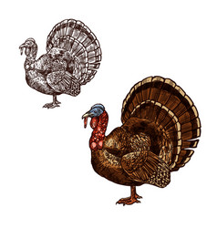 Turkey bird thanksgiving day sketch icon vector