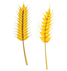 wheat and barley vector image