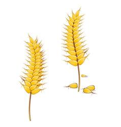 ripe wheat vector image