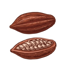 Fruits of cocoa beans vector image